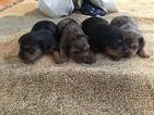 Dorkie Puppy For Sale in JAFFREY, NH, USA