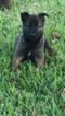 Belgian Malinois Puppy For Sale in MISSION, Texas,