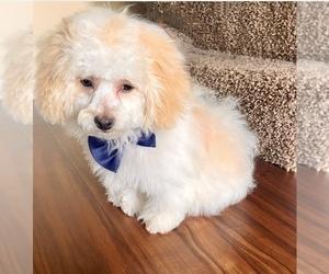 Zuchon Puppy for sale in LOUISVILLE, KY, USA