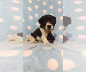 Jack Russell Terrier Puppy for sale in HONEY BROOK, PA, USA