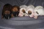 Boxer Puppy For Sale in DENVER, CO