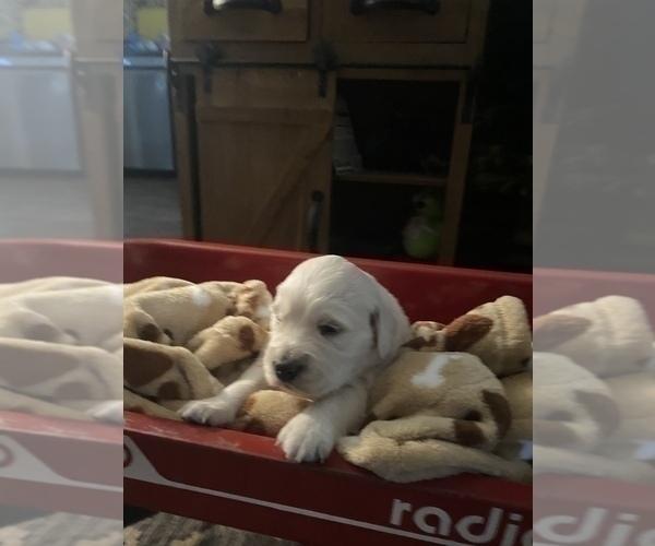 Medium Photo #8 English Cream Golden Retriever Puppy For Sale in ARCHBALD, PA, USA