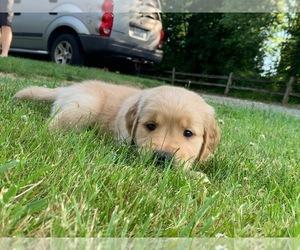 Golden Retriever Puppy for sale in FERNDALE, WA, USA