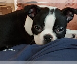 Boston Terrier Puppy for sale in FORT MILL, SC, USA