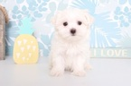 Dot Female ACA Maltese Puppy