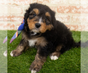 Miniature Bernedoodle Puppy for Sale in ARGYLE, Iowa USA
