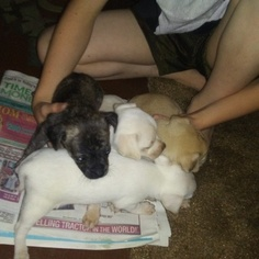 Chihuahua Puppy for sale in SHERMAN, TX, USA