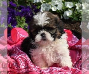 Shih Tzu Puppy for sale in NARVON, PA, USA