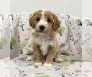 Poodle (Miniature)-Titan Terrier Mix Puppy for Sale in RICHMOND, Illinois USA