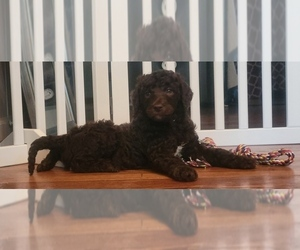 Poodle (Standard) Puppy for sale in TRAVELERS REST, SC, USA