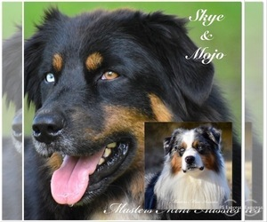 Father of the Australian Shepherd puppies born on 06/26/2020