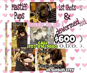 American Pit Bull Terrier-Cane Corso Mix Puppy for Sale in SUISUN CITY, California USA