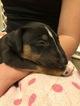 Small #3 Bull Terrier