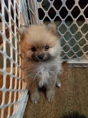 Pomeranian Puppy for sale in BUFFALO, NY, USA