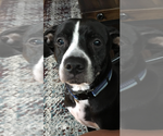 Small American Staffordshire Terrier-Labrador Retriever Mix