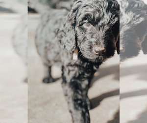 Goldendoodle Puppy for Sale in HUNTSVILLE, Alabama USA