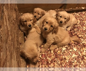 Golden Retriever Puppy for Sale in CORAOPOLIS, Pennsylvania USA