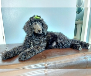 Poodle (Standard) Puppy for Sale in ROGERSVILLE, Alabama USA