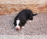 Puppy 2 Bernese Mountain Dog