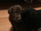 Labradoodle Puppy For Sale in QUEEN CREEK, AZ