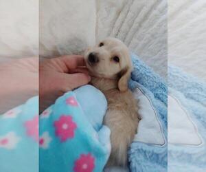 Dachshund Puppy for Sale in NORTHGLENN, Colorado USA