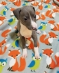 Italian Greyhound Puppy For Sale in ALTON, IL
