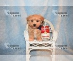 Small #11 Maltipoo-Poodle (Toy) Mix