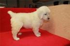 English Cream Golden Retriever  Puppy For Sale in Ottawa, Ontario, Canada