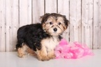 Morkie Puppy For Sale in MOUNT VERNON, OH,
