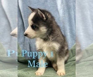 Siberian Husky Puppy for sale in HESPERIA, CA, USA