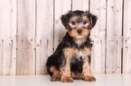Yorkshire Terrier Puppy For Sale in MOUNT VERNON, OH, USA