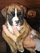 Boxer Puppy For Sale in OAK VIEW, CA,