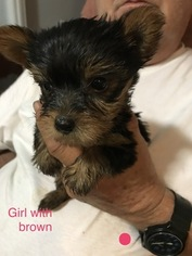 View Ad Yorkshire Terrier Puppy For Sale Mississippi Coldwater Usa