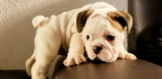Bulldog Puppy For Sale in NATIONAL CITY, CA, USA
