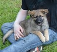 German Shepherd Dog Puppy For Sale in ALLIANCE, OH, USA