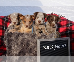 Australian Cattle Dog Puppy for Sale in BRUCE, Michigan USA