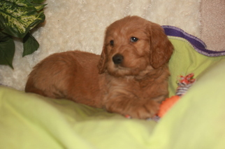 Goldendoodle Puppy For Sale in RED BLUFF, CA, USA
