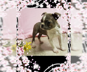 Boston Terrier Puppy for sale in DUNDEE, OH, USA