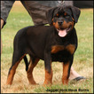 Rottweiler Puppy For Sale in OLYMPIA, WA, USA