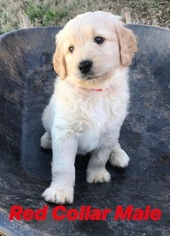 Goldendoodle Puppy For Sale in ABBEVILLE, SC, USA