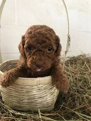Goldendoodle Puppy For Sale in RIMERSBURG, PA, USA