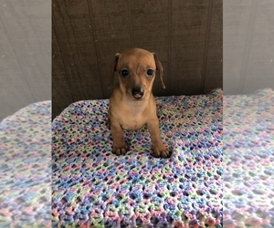 Dachshund Puppy for sale in BECKLEY, WV, USA