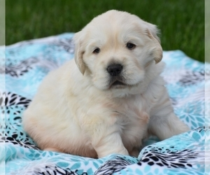 Golden Retriever Puppy for sale in FORT MYERS, FL, USA