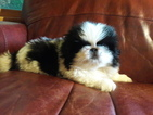 Pekingese Puppy For Sale in ASHEVILLE, NC, USA