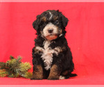 Puppy 6 Bernedoodle