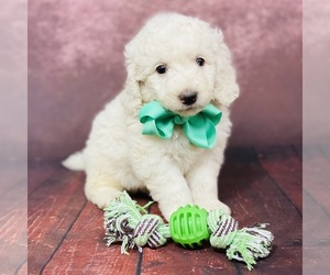 Goldendoodle Dog for Adoption in ITASCA, Texas USA