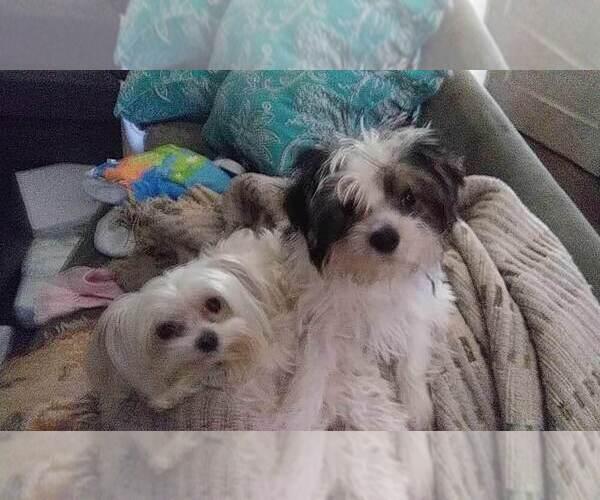 Medium Photo #1 Yorkshire Terrier Puppy For Sale in DEL RIO, TX, USA