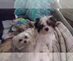 Small Photo #1 Yorkshire Terrier Puppy For Sale in DEL RIO, TX, USA