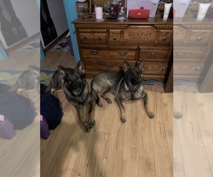 Father of the German Shepherd Dog puppies born on 11/03/2020