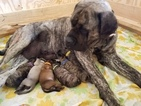 AKC English Mastiff Brindle Male Puppy